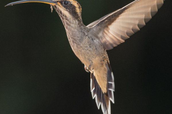 Beija-flor-rabo-branco-de-garganta-rajada (Phaethornis eurynome)